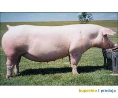 Kupujem svinju landras