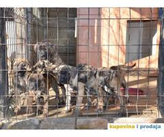 DOGO CANARIO - stenci izlozbenog kvaliteta