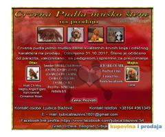 Crvena pudla muško štene na prodaju