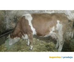 Prodajem steonu kravu prvotelku