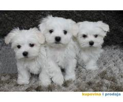 Snežno beli štenci maltezera