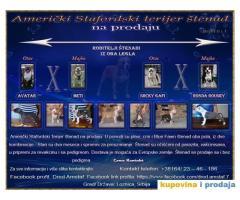 Američki Stafordski Terijer štenad na prodaju