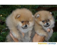 Pomeranian, Boo, Pomeranski spic stenci