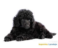 Crna Patuljasta/ Toy pudla štenad na prodaju