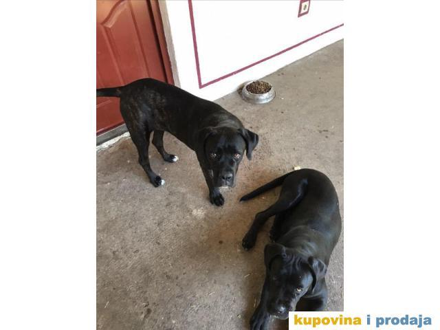 CANE CORSO - mladi kvalitetni psi