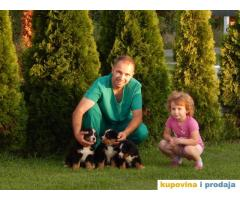 Bernski planinski pas, štenci