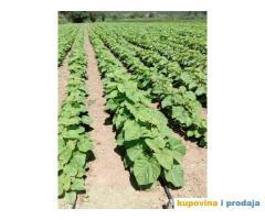AKCIJA! Sertifikovane jednogodisnje sadnice PAULOVNIJE