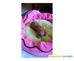 Crvena Patuljasta Pudla štenad na prodaju