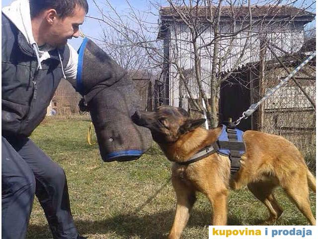 BELGIJSKI OVCAR, Malinoa - odrasli psi