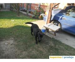 Labrador crni star 8 meseci