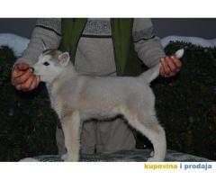 Sibirski Haski štenad