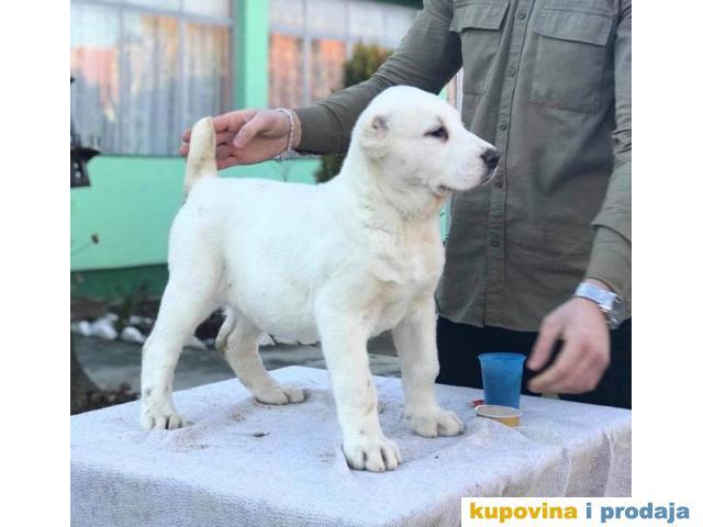 Srednjeazijski Ovcar Alabai Azijati Prodaja Pasa