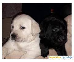 Labradori štenci
