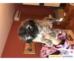 Ši-cu štenci na prodaju