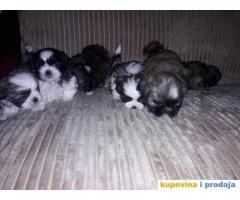 ŠICU (Shihtzu) štenci izuzetnog kvaliteta