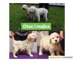 LAGOTO štenci na prodaju