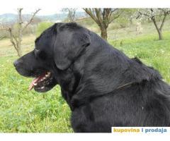 Crna zenka LABRADORA stara 3 godine