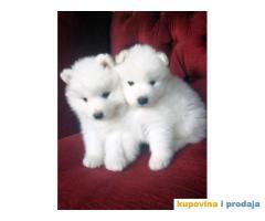 Rezervacija štenaca sibirskog SAMOJEDA