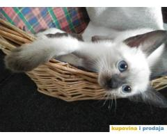 Čistokrvni sijamski mačići
