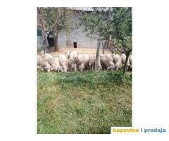 Prodajem umatičene ovce