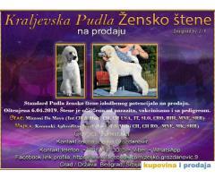 Kraljevska Pudla Žensko štene na prodaju