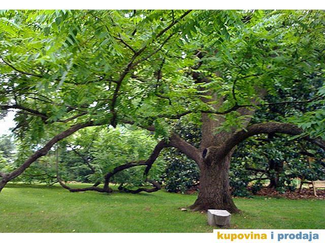 Prodajem stabla oraha