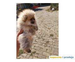 Na prodaju štenci POMERANSKOG Spica