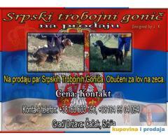 Srpski Trobojni Gonič - kupujemprodajem   kupujem, prodajem