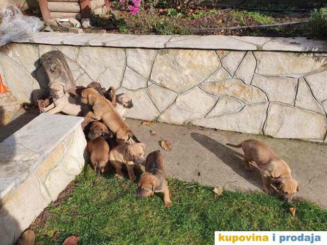 Stenci TOŠA INU /veliki japanski pas