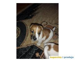 Jack Russell (Dzek rasel) štenci