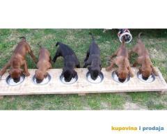 Tosa Inu štenci na prodaju
