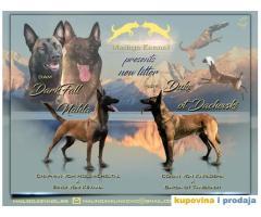 Na prodaju dva muska steneta Belgijskog ovcara