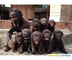 Izuzetna štenad Labrador Retriver