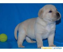 Odgajivacnica Labradora Kingdom of labrador