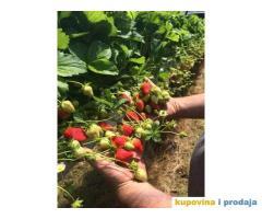 Sadnice najboljih sorti jagoda