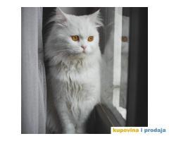 Persijski mačak za parenje